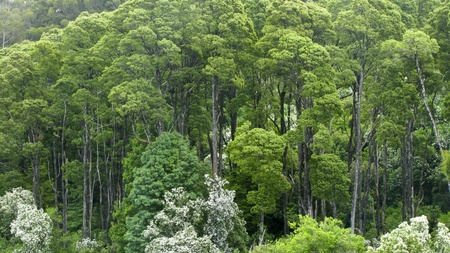 australian rain forest seen from above into the canopy