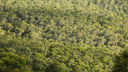 the canopy of deciduous eucalyptus forest seen from above in summer  photo