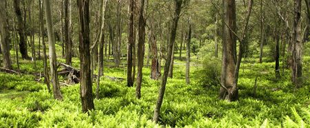 green fern leaves in the underwood of an eucalyptus forest Stock Photo - 9763847