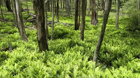 green fern leaves in the underwood of an eucalyptus forest photo