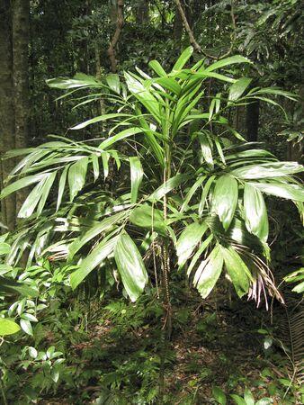 walking stick palm, Linospadix monostachya, in an australian rain forest
