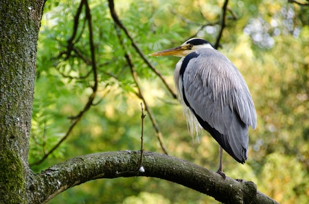 Grey heron, Ardea cinerea sitting on a tree photo