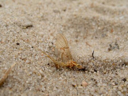 Male of an adult mayfly, Ephemera vulgata, sitting on sand Stock Photo - 10340531