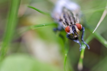 irritate: Head of a red eyed fly, a house fly from the family Muscidae after swimming in milk