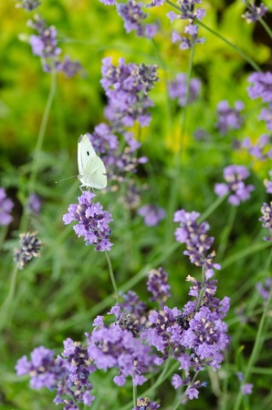 Closeup of lavender flowers, Lavandula angustifolia,with a Large White, Pieris brassicae butterfly Stock Photo - 10340541