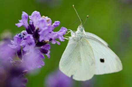 Closeup of lavender flowers, Lavandula angustifolia,with a Large White, Pieris brassicae butterfly photo