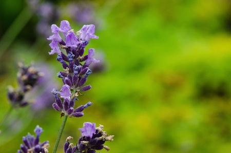 lavandula angustifolia: Closeup of lavender flowers, Lavandula angustifolia, in front of green background Stock Photo