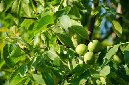 Green fruits on walnut tree, Juglans regia