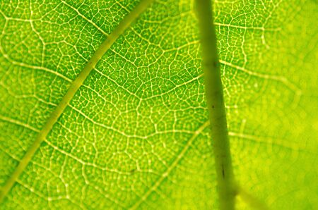 Closeup of a green leaf in backlight as background photo
