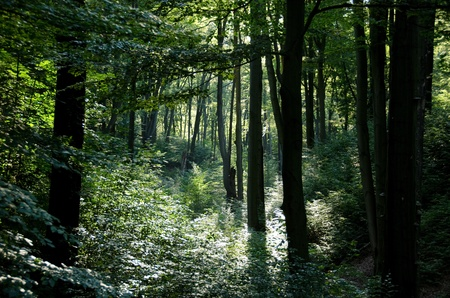 beautiful woodland: Beech forest with warm sunshine in summer Stock Photo