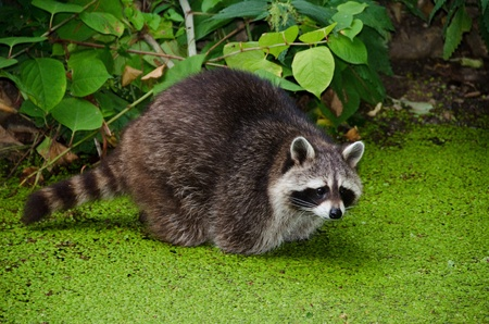 procyon: Racoon, Procyon lotor, sitting in a water pit and looking for food