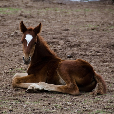A brown horse foal with white facial marking sitting on the ground