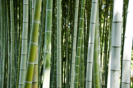 Green bamboo forest background with focus on the stems photo