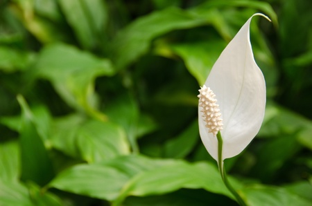 White flower of a  Peace Lily, from the genus Spathiphyllum in front of green background