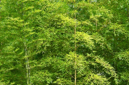 Background of a green japanese bamboo forest seen from the side photo