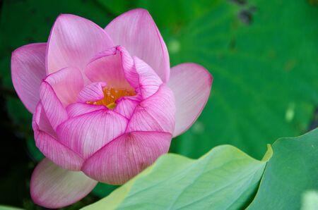 Detail of a beautiful pink lotus flower, Nelumbo nucifera Stock Photo - 11080675