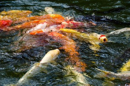 Japanese koi swimming in water and fighting for food photo