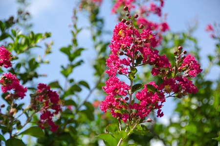 Closeup of the red flowers of Lagerstroemia indica Crape myrtle or Crepe myrtle in September in Japan photo