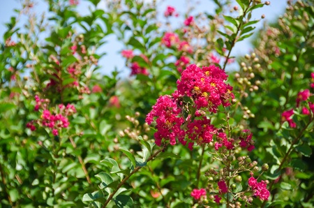 Closeup of the red flowers of Lagerstroemia indica Crape myrtle or Crepe myrtle in September in Japan Stock Photo - 11143309