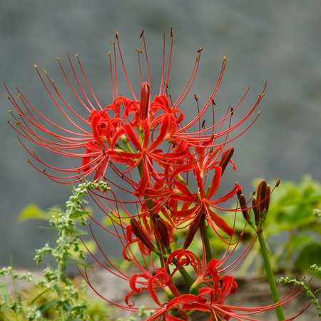 Flowers of the Red spider lily, Lycoris radiata photo