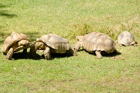 spurred: African spurred tortoise, Geochelone sulcata, a african giant turtoise Stock Photo