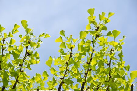 Leaves of the ginko tree, Ginkgo biloba, against blue sky in September photo