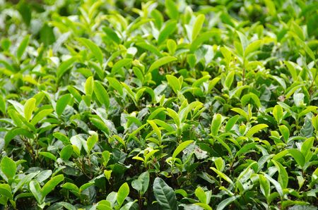 A japanese green tea plant with fresh leaves photo