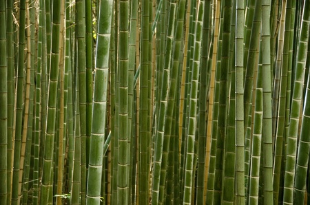 Background of a green stems of a japanese bamboo forest seen from the side photo