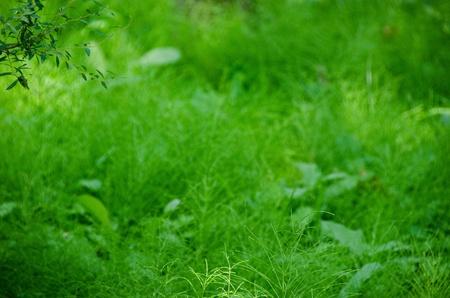 horse tail: Fondo verde natural compuesto por Equisetum (cola de caballo) en el sotobosque de un bosque Foto de archivo