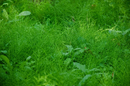 Natural green background composed of Equisetum (horse tail) in the understory of a forest photo