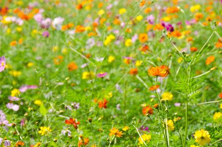 A field of cosmos flowers, Cosmos bipinnatus, in Japan Stock Photo