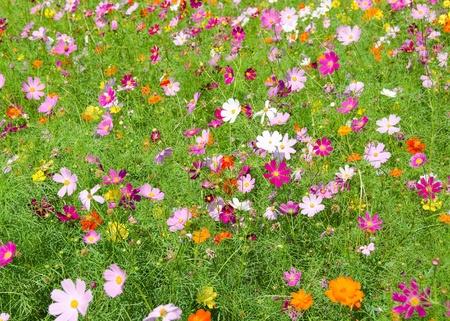 A field of cosmos flowers, Cosmos bipinnatus, in Japan Stock Photo