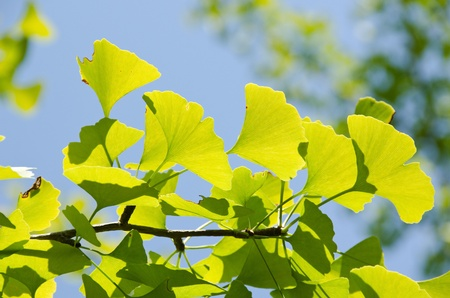 gingko: Leaves of Ginkgo biloba on the tree in sunshine with blue sky in background