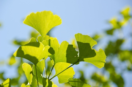 Leaves of Ginkgo biloba on the tree in sunshine with blue sky in background