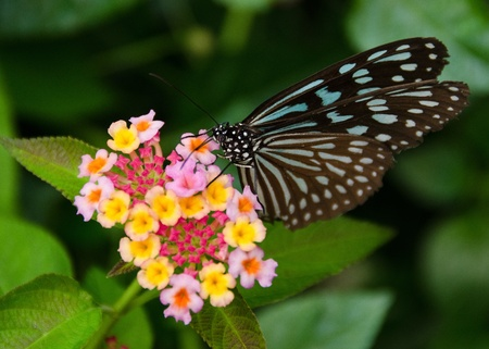 Blue butterfly, Ideopsis sp. from Japan sitting and feeding nectar on a flower photo