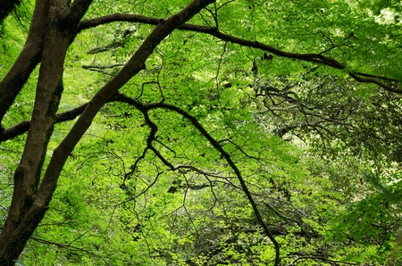 acer palmatum: Japanese maple tree, Acer palmatum, with green leaves in summer