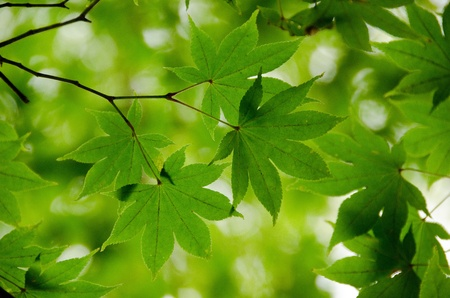 A branch of  green maple leaves as background structure photo
