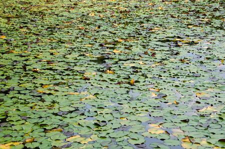 Natural green background of Nymphaea leaves on a lake Stock Photo - 12061903