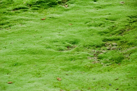 Natural green moss background in a japanese forest photo