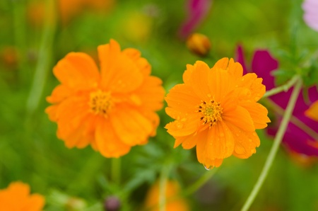Two wet orange cosmos flowers, Cosmos bipinnatus, in Japan photo