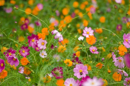 A field of cosmos flowers, Cosmos bipinnatus, in Japan photo
