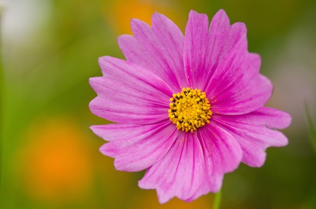 Close up of a single pink cosmos flower, Cosmos bipinnatus photo