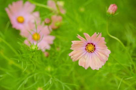 Pink cosmos flowers, Cosmos bipinnatus, on a rainy day photo