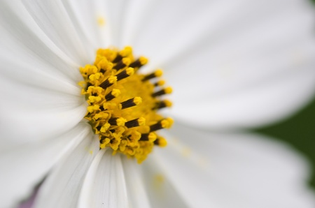 Close-up of a single white cosmos flower, Cosmos bipinnatus Stock Photo - 12420996