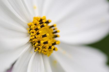 Close-up of a single white cosmos flower, Cosmos bipinnatus Stock Photo - 12420996