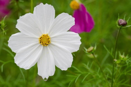 Close-up of a single white cosmos flower, Cosmos bipinnatus Stock Photo - 12421045