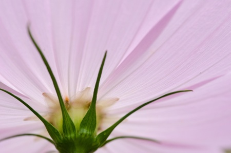 Close-up of a single pink cosmos flower, Cosmos bipinnatus, from behind Stock Photo - 12421039