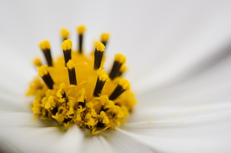 Close-up of the stamen of a white cosmos flower, Cosmos bipinnatus Stock Photo - 12420997