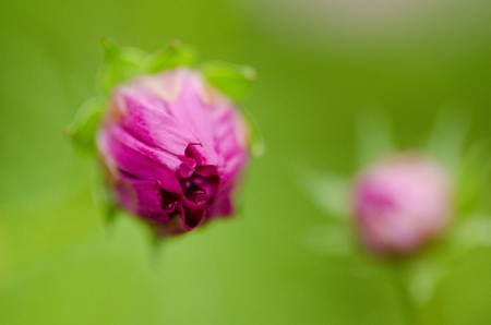 Close-up of the bud of a single pink cosmos flower, Cosmos bipinnatus photo