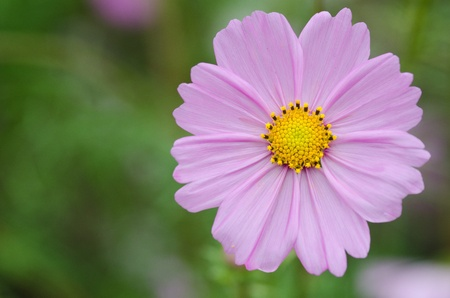 Close-up of a single pink cosmos flower, Cosmos bipinnatus photo